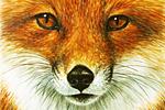 チャールズ・リン・ブラッグ Fox