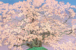 Nakajima Chinami A cherry tree n the morning when the flower bloomed