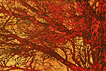 Hoshi Joichi Red branches