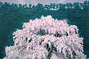 Higashiyama Kaii(new reprint) Luminous Cherry Blossoms (new reprint picture)