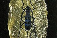 Kayama Matazo Long-horned beetle